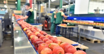 Apples on factory conveyor belt