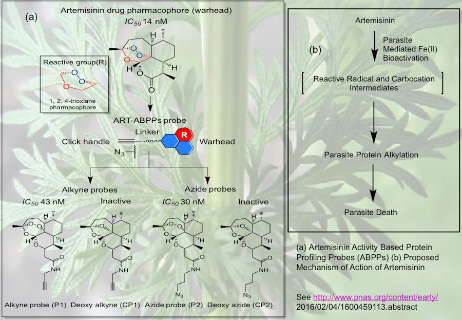 Probing the Antimalarial Mechanism of Action of the Artemisinins