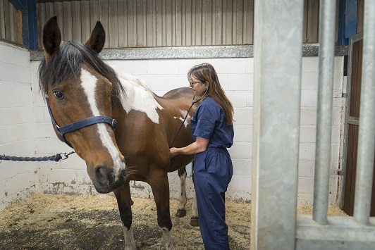 Horse Heart Auscultation with Stethoscope