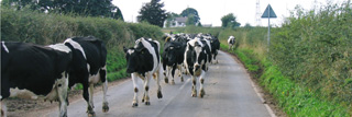 Cows walking in a road