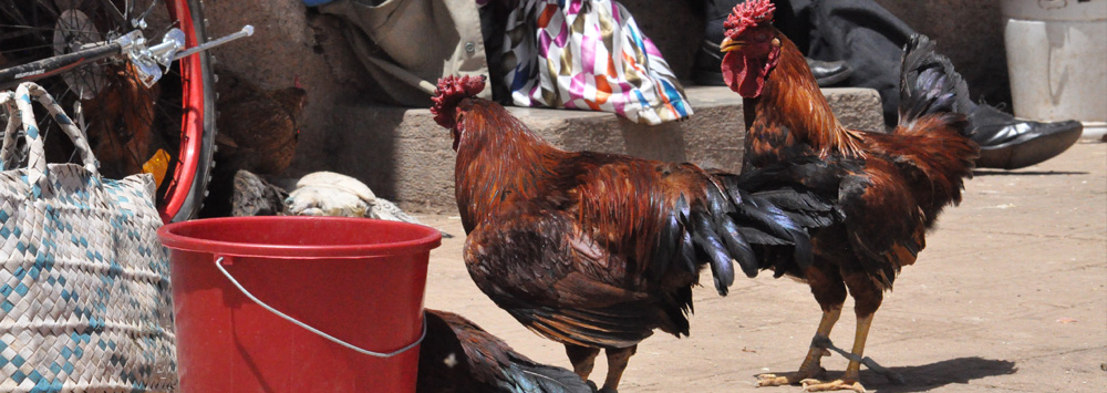 Chickens in Africa
