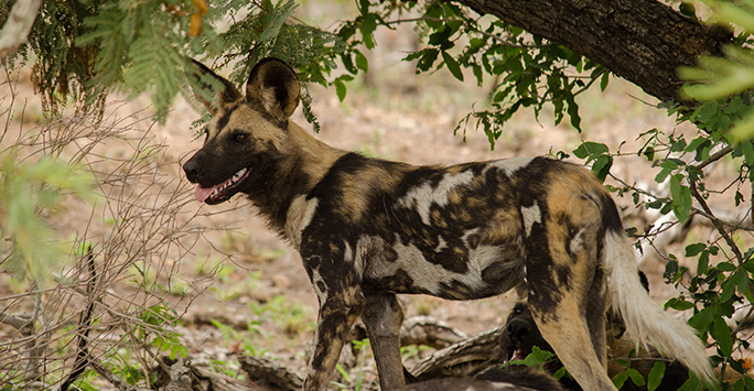 African painted dog standing guard under tree
