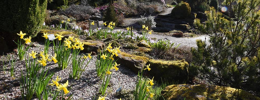 Daffodils flowering at Ness Gardens