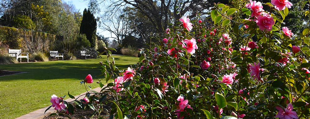 Camellias flowering at Ness