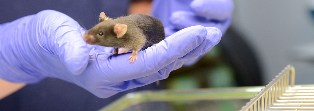 animal research - mouse