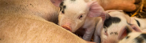 piglets feeding at Ness Heath farm