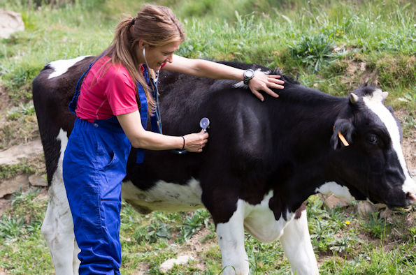 A vet using a stethoscope on a cow in a field