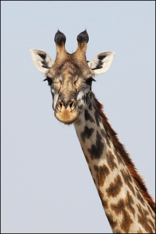 гифка жующий жираф принимает радиостанции, громко
