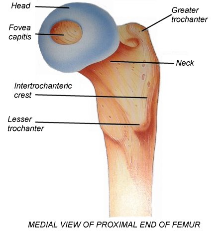 Bone structure of the hip