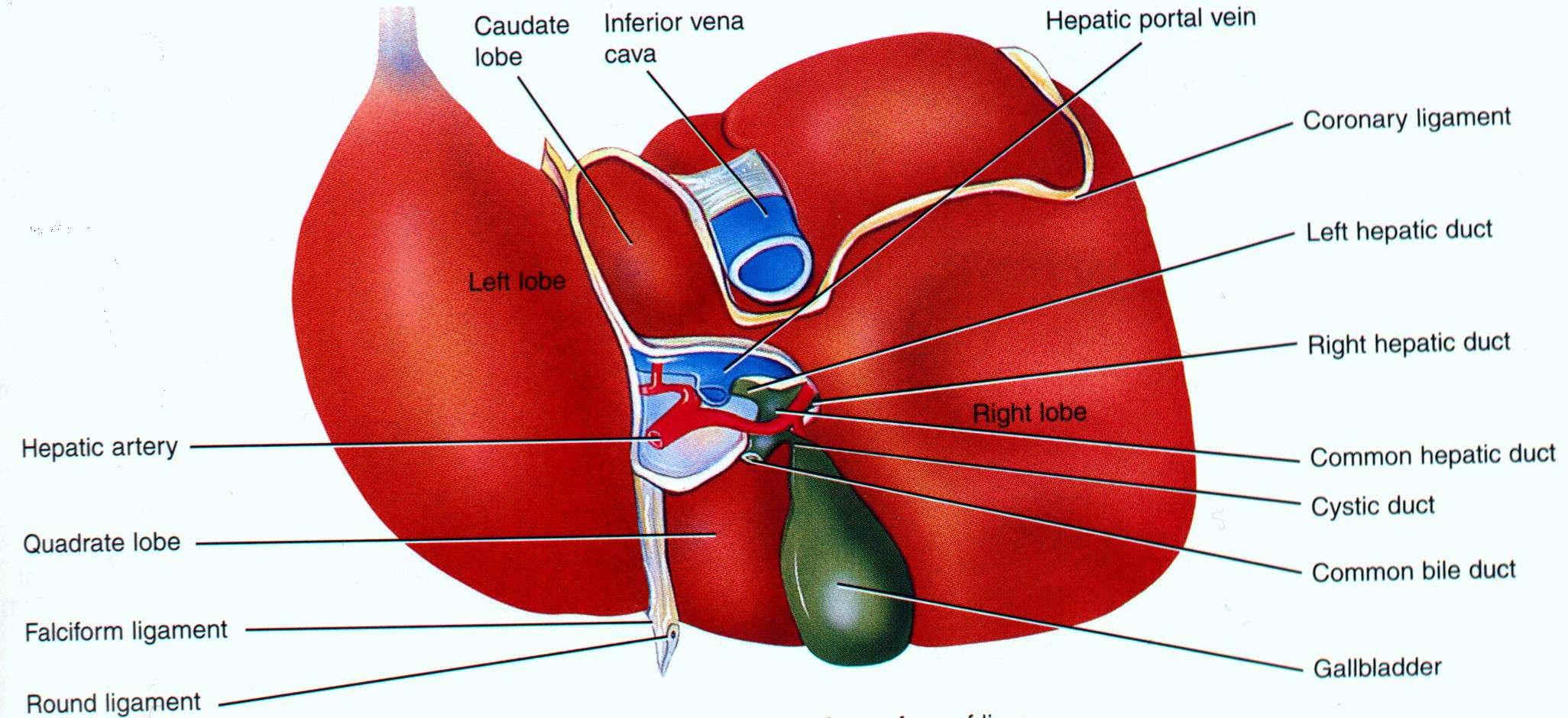 Liver structure Diagram